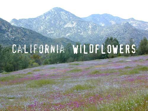 caliwildflowers